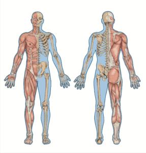 Der Bewegungsapparat Menschlicher Knochenkörper