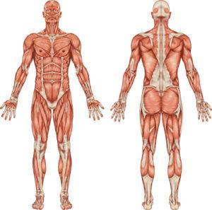 Der Bewegungsapparat Menschlicher Muskelkörper