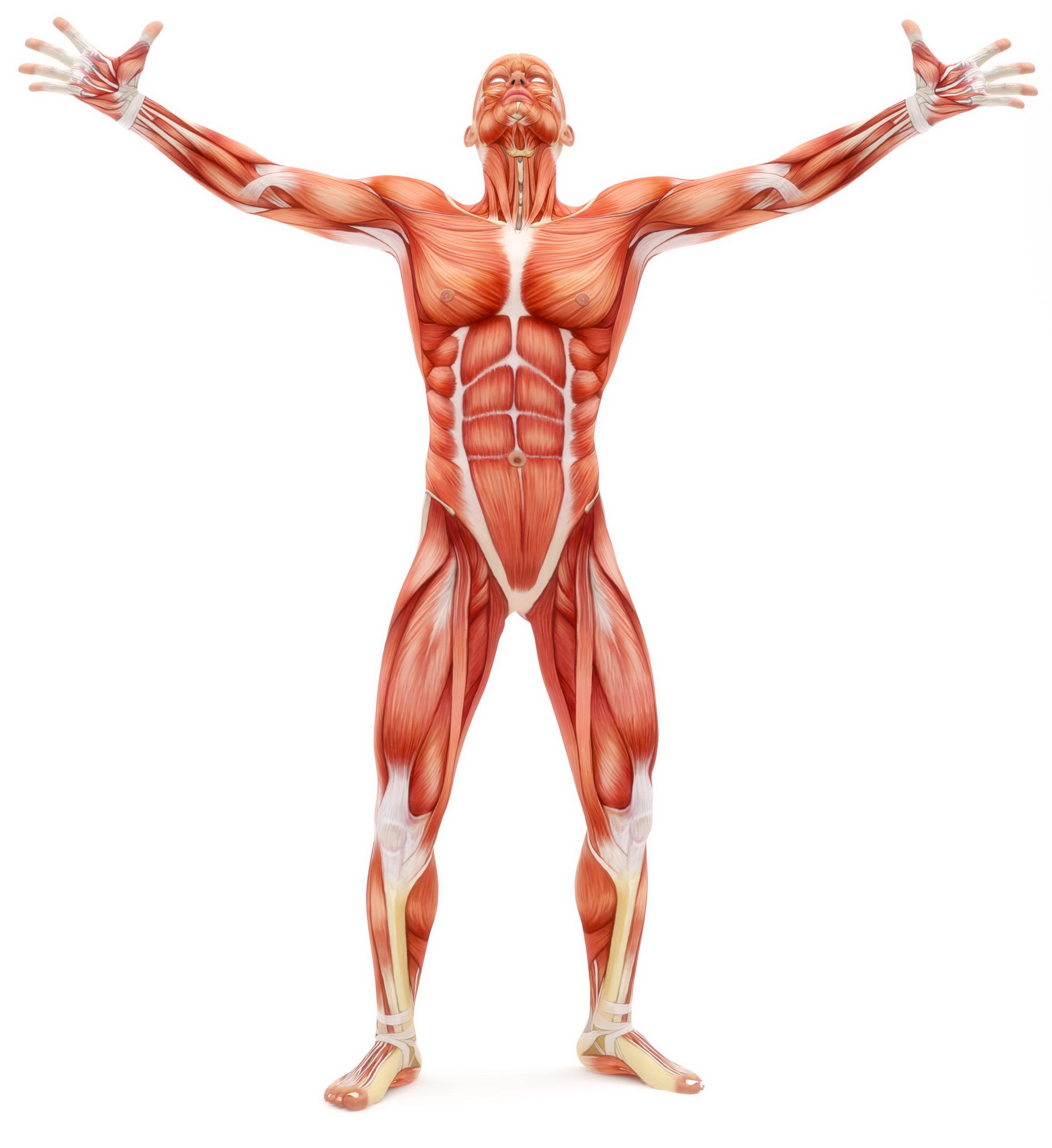 Bewegungsapparat Menschlicher Körper